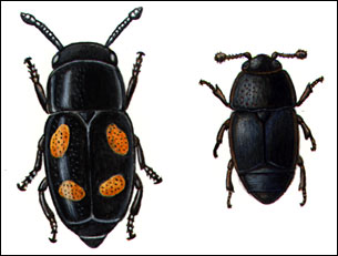 Nitidulid beetles