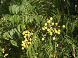 Leaves and berries of the Soapberry tree