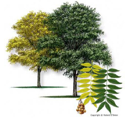 Drawing of the Soapberry tree