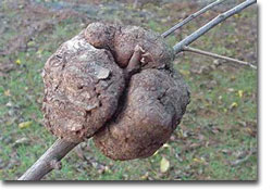 Large Oak gall on an oak branch
