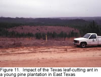 Impact of leaf-cutting on young pine forest