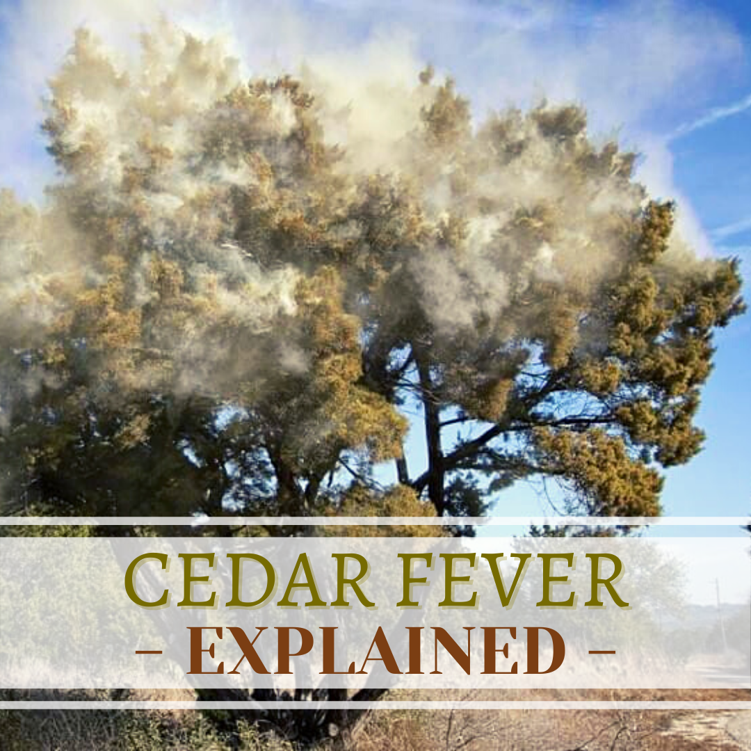 Cedar fever season is almost upon us, and at a time when having a fever – or even catching a slight cold – is borderline taboo, it's more important than ever to understand the symptoms and the source of this common, central Texas allergy.