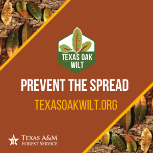 Oak wilt is one of the most destructive tree diseases in the United States, and has been killing oak trees in Central Texas at epidemic proportions. Texas A&M Forest Service urges all Texans, particularly hunters, to take preventative measures and be cautious when collecting and purchasing firewood this time of year to reduce the spread of oak wilt.