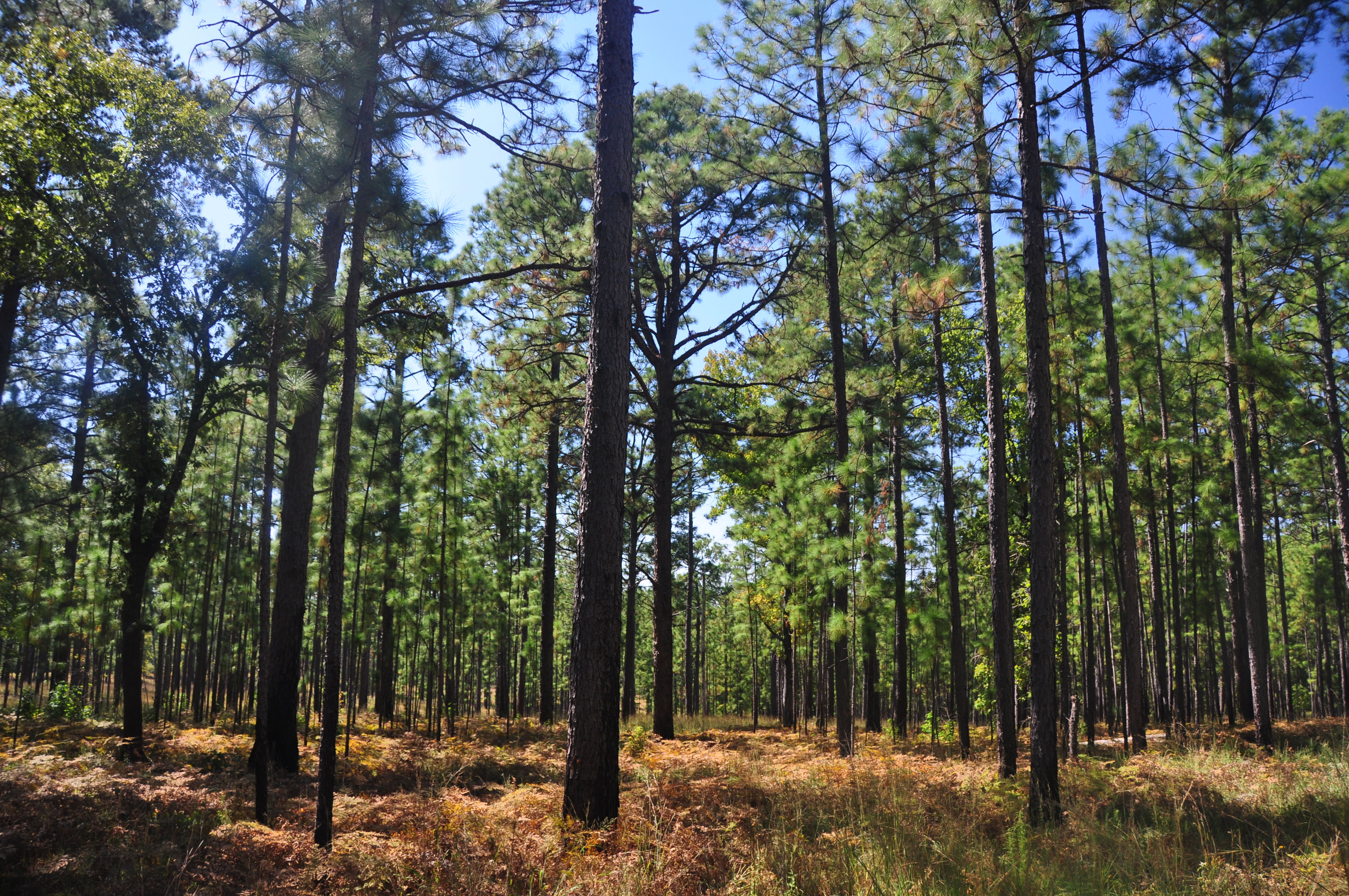 <p>    Funds Available for Forest Thinning Through Southern Pine Beetle