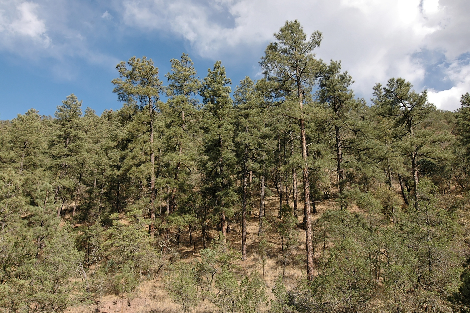 <p>Texas A&amp;M Forest Service is helping restore the threatened, iconic Ponderosa Pine forests of West Texas. After a myriad of environmental stresses destroyed nearly 75