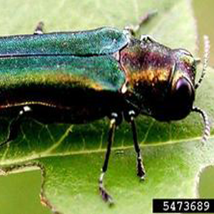 <p>   July 30, 2018 - FORT WORTH, Texas - Forest pest experts are investigating reports that the invasive emerald ash borer may have been found in Tarrant County.&#160;&#160; 