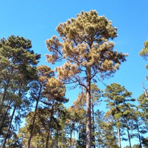 East Texas now noticing freeze damage on forest trees