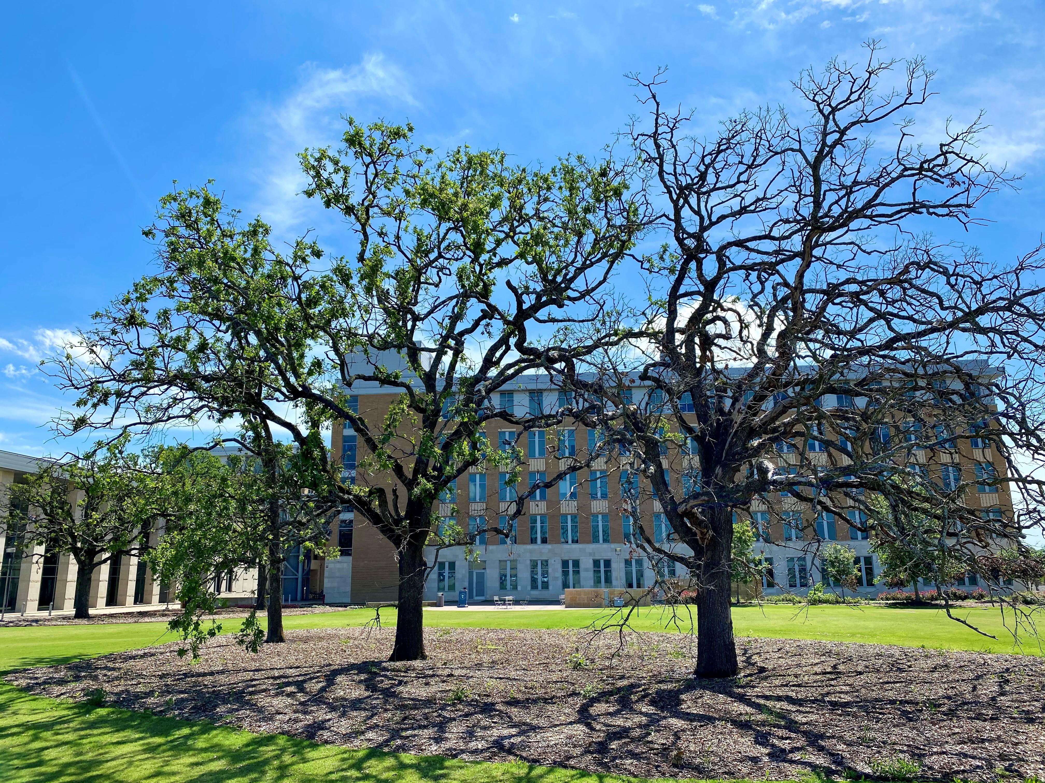 Oak Trees 3