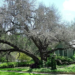 Oak wilt disease threatens Texas oaks in spring