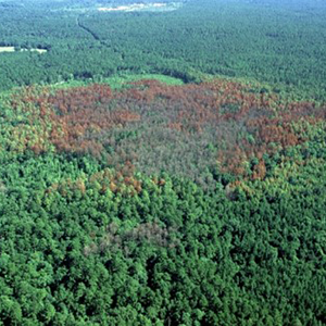 Funds may be available for landowners who help prevent Southern Pine Beetle by thinning their forests