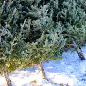 How to Sustainably Dispose of Your Real Christmas Tree