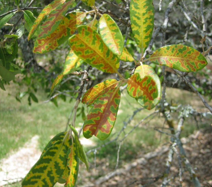 Texans can prevent the spread of oak wilt disease