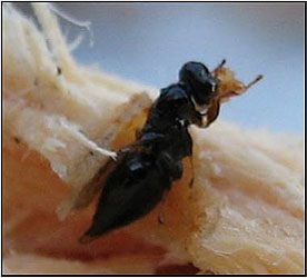 Chalcid Wasp found in dying Afghan pine in the El Paso, TX area