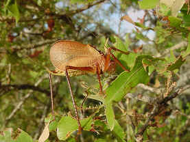 Adult katydid on post oak leaf
