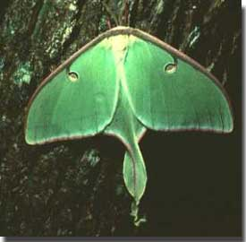 Luna Moth with full wing view.