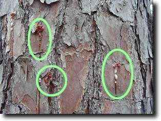 Pitch tubes often form on the bark of a pine tree where Ips engraver beetles have attacked the  tree. Notice the reddish color of the pitch tubes and that the attacks tend to be on the bark plates rat