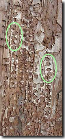 The circular areas in the bark (indicated by the green ovals) are where the larvae pupated before emerging as adult beetles