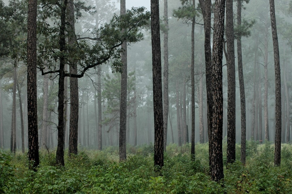 FOG SETTING IN A PINE FOREST