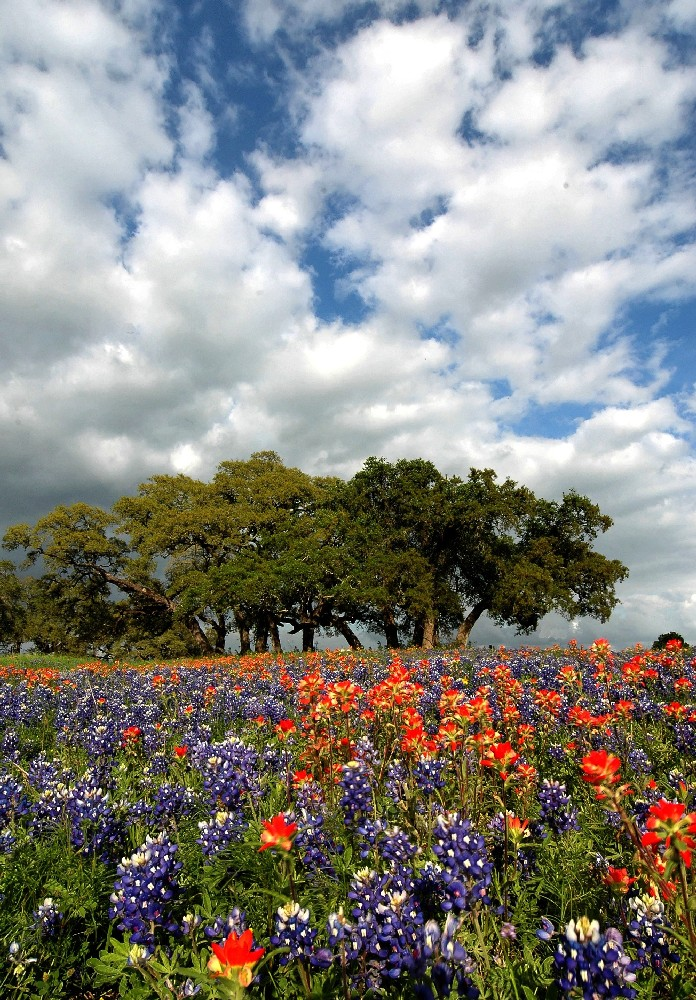 TEXAS WILDFLOWERS IN A FIELD WITH OAK TREES IN THE DISTANCE