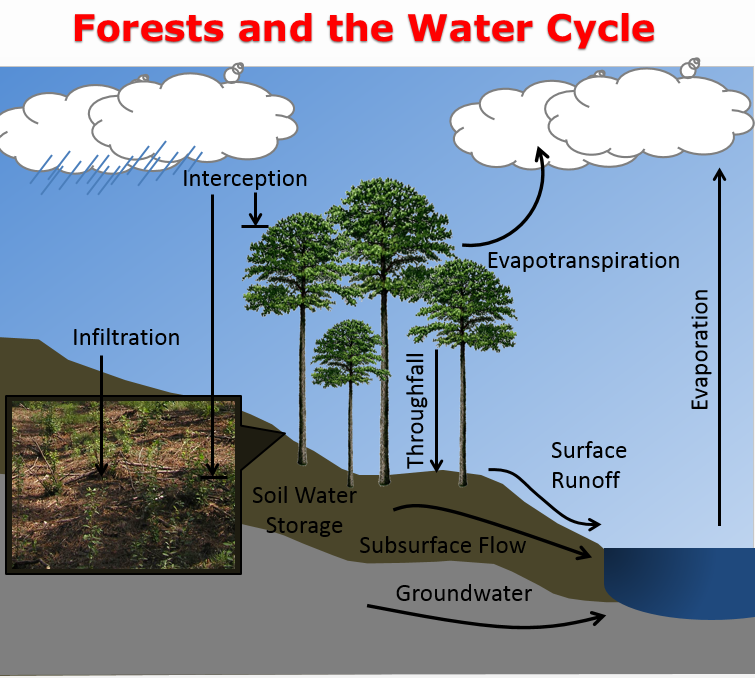 Forest and the Water Cycle