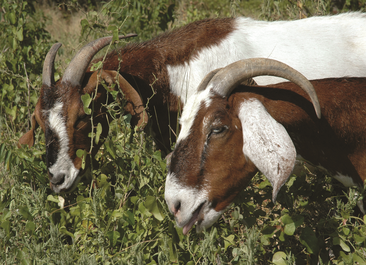Goats grazing and reducing vegetation