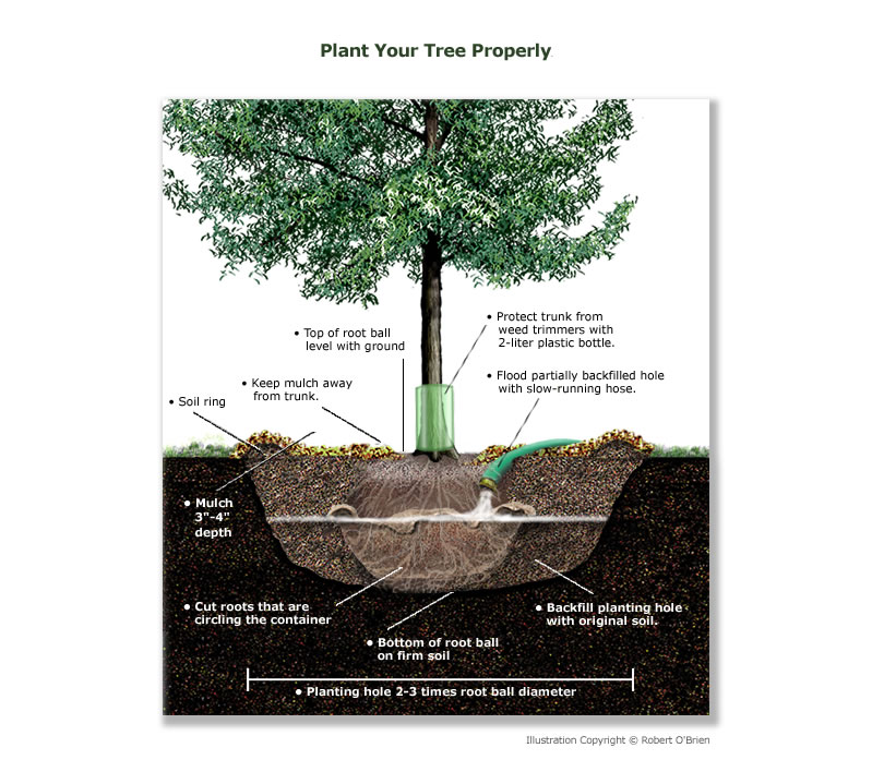 A CROSS SECTION DRAWING OF A TREE PROPERLY PLANTED IN THE GROUND