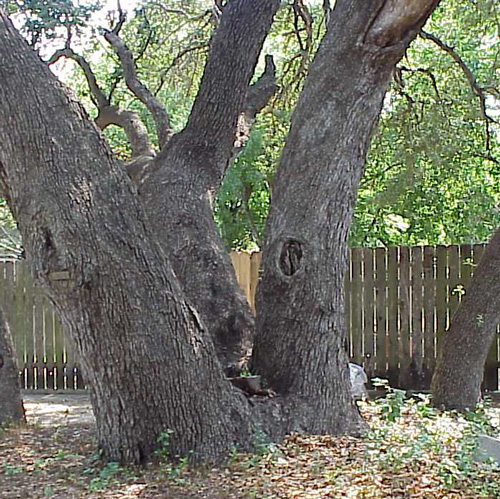 Tombstone Oak