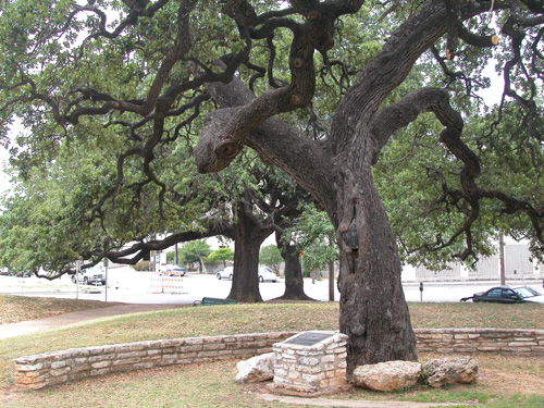 Auction Oaks-recent