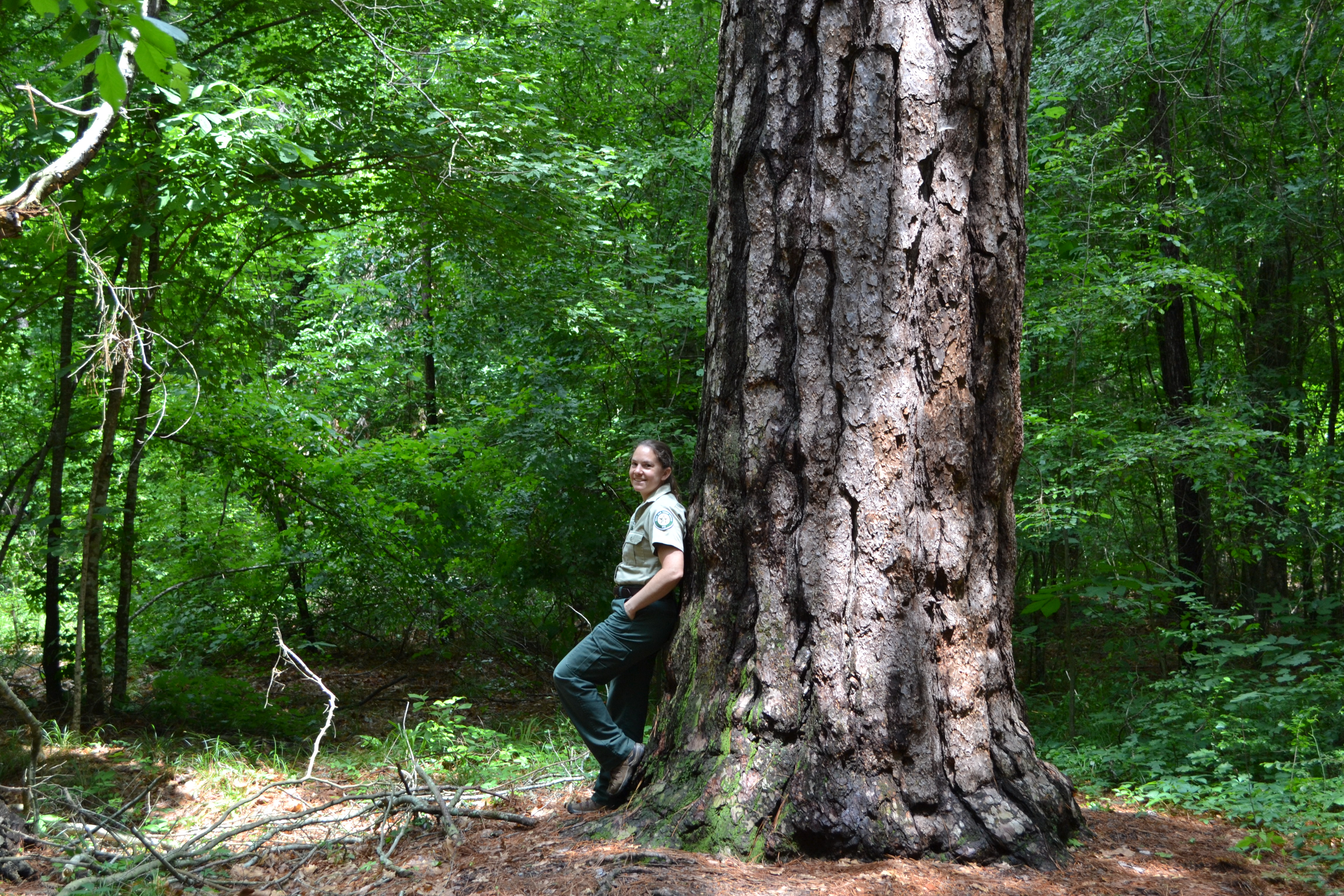 Rusk County Loblolly Pine-Recent
