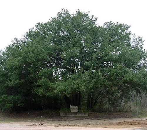 Choctaw Robinson Oak-recent