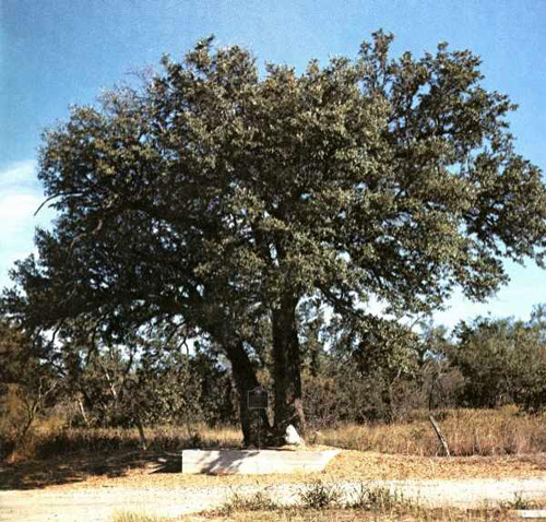 Choctaw Robinson Oak