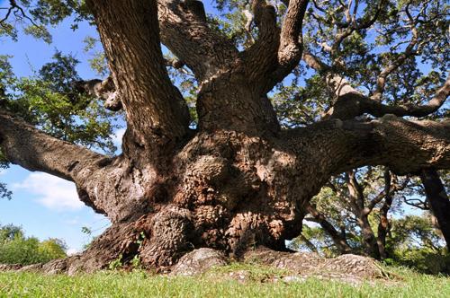 Goose Island Oak Tree