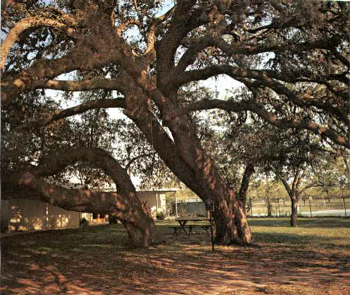 Hallettsville Hanging Tree-1969