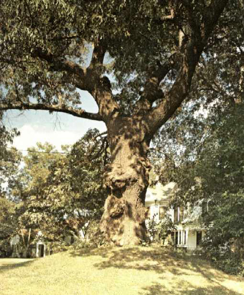 Indian Mound Oak-1969