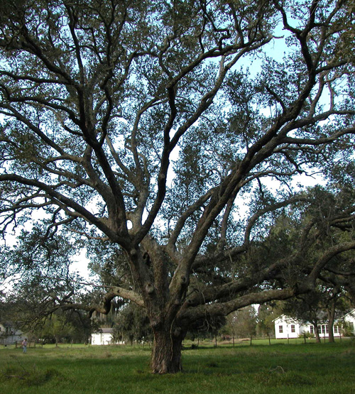Peach Point Oaks-recent