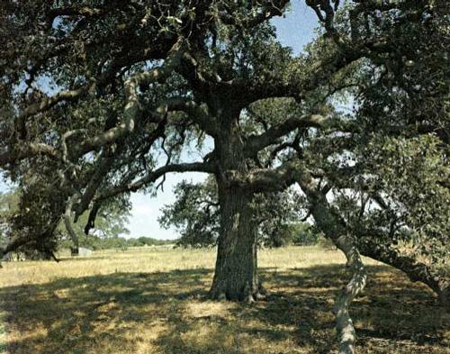 Runaway Scrape Oak
