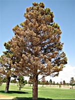 48 kb jpeg afghan pine tree pinus eldarica afghan pine tree pinus